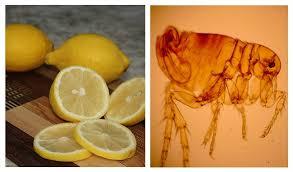 lemon spray to kill fleas real and