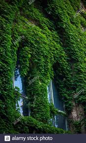 Stone wall and high windows completely overgrown with vibrant green wild  vine and ivy. Stone wall covered in green ivy Stock Photo - Alamy