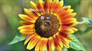sunflower wallpaper hd you