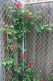 Cover A Chain Link Fence In No Time Flat Dave S Garden