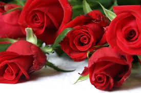 صور ورد احمر جميل لعشاق الرومانسية جمال الزهرة الحمراء تعبر عن