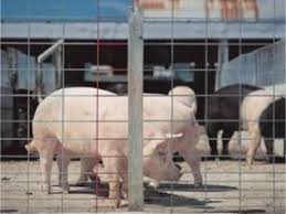 Hog Wire Fence Panels Protect Livestock Or Decorate Garden China Tianjin Bluekin Industries