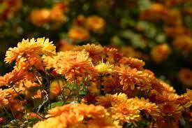 fall flowers desktop wallpapers top