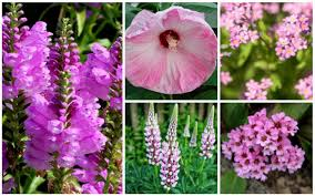 15 pretty and pink perennials that will