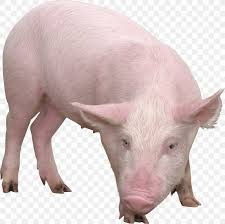 png 2262x2257px pig clipping path
