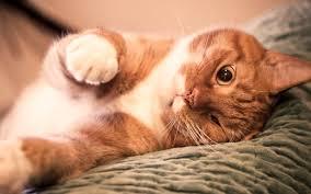 lovely cat hd wallpaper hintergrund