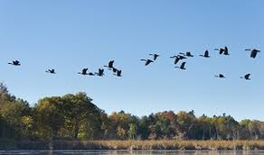 The Easy Way To Keep Geese Out Of Your Ponds And Fields Bird B Gone Inc
