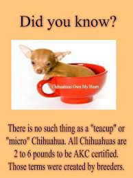 the myth about teacup chihuahua