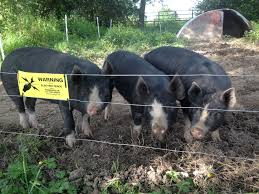 Pig Electric Fence In Action Farmcareuk Com