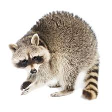 How To Get Rid Of Raccoons Updated For 2020