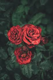 nature flowers rose flowering plant