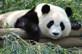File:Atlanta Zoo Panda.jpg - Wikimedia Commons