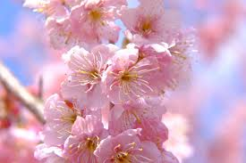 enchanting cherry blossom quotes from the tale of genji renae