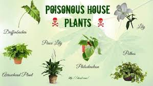 top 16 poisonous house plants for