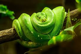 12 Diy Homemade Snake Repellents Natural Ways To Repel Snakes Pest Wiki