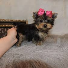 yorkie terrier miniature