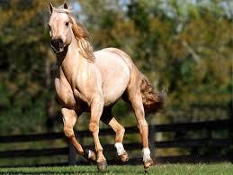 خيول عربية اصيلة خلفيات حصان عربي مساء الورد