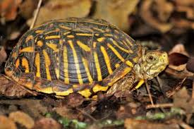 Eastern Box Turtle Care Guide To Know Animal Rescue Guide