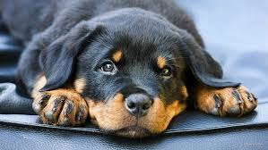 hd wallpaper rottweiler puppy dogs