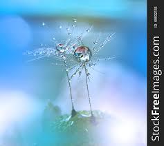 dewy dandelion flower close up blue