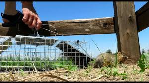 catching prairie dogs havahart traps