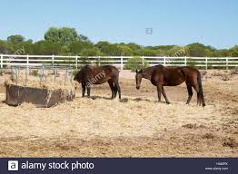 Two Horses In Rural Western Australian Farmland Pasture With Hay Stock Photo Alamy