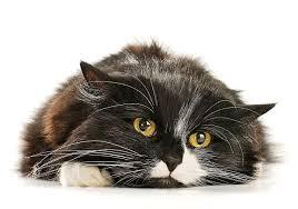 O que os gatos têm realmente a ver com o coronavírus? | Veja Saúde
