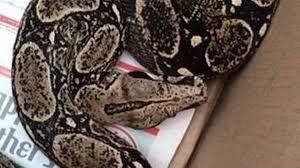 boa snake falls from ceiling onto ny