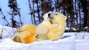 polar bear wallpaper hd wp7u5iz