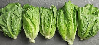 romaine lettuce nutrition benefits and