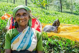 tea picking lady, tea leaves, job, nuwara eliya, sri lanka, leaves ...