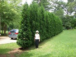 American Pillar Privacy Plants Natural Privacy Fences Privacy Landscaping