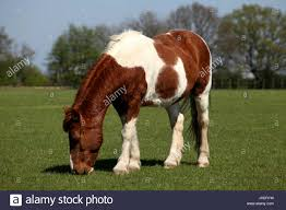 Horse grazing, Ada Cole Rescue Centre, Redwings Horse Sanctuary Stock Photo  - Alamy