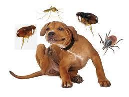 Cómo quitar las pulgas a un perro - Rápido y sin bañarlo ...