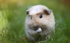 guinea pig wallpaper 2880x1800 46263