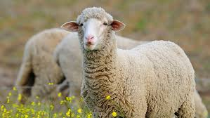 Brain waves common during sleep also show up in awake sheep | Science News