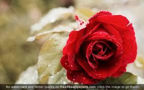 Beautiful Red Rose 4k Wallpaper Beautiful Red Roses Red Roses