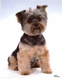 yorkie hairstyles certified pet