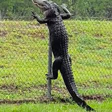 Massive Alligator Scales Over High Fence At Naval Base In Horrifying Footage Mirror Online