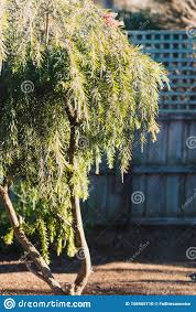 Native Australian Bottle Brush Callistemon Tree In Bloom With Red Flowers Stock Photo Image Of Exotic Sunny 156905710