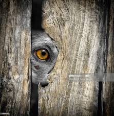 A Kelpie Dog Looking Through A Hole In The Fence High Res Stock Photo Getty Images