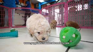 beautiful apricot toy poodle puppies