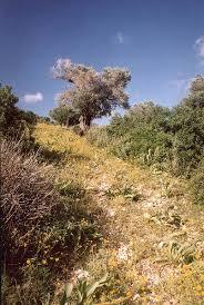 olive gardens east from tirat carmel