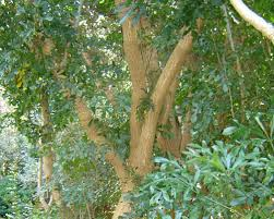 list of indigenous trees and shrubs