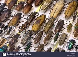 Raccolta di scarabeo con pin.collezione di insetti di entomologo ...