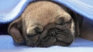 pug puppy cute sleeping