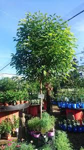 trees trees at oxley nursery