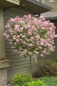 35 best garden flowering tree ideas for