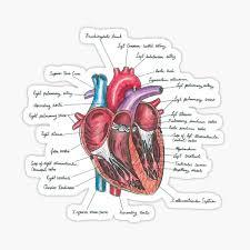 Human Anatomy Stickers Redbubble