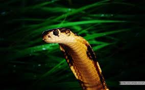 king cobra snake wallpaper